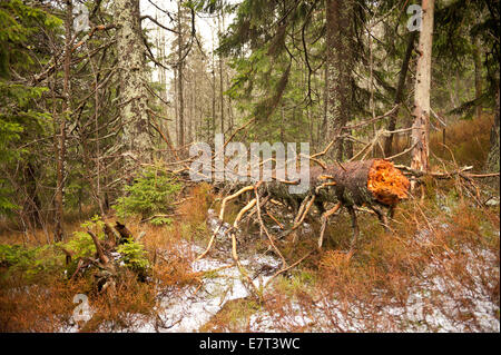 Collapsed trunk in Babia Góra National Park - Stockfoto