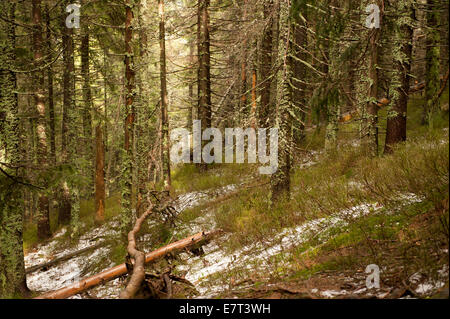 Babia Góra National Park old moss woods - Stockfoto