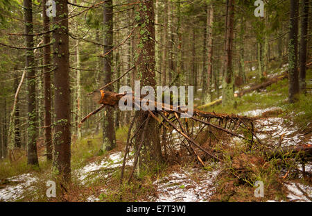 Old moss forest in Babia Góra National Park - Stock Photo