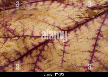 A drying rhubarb leaf shows  red veins in a late summer garden. - Stock Photo