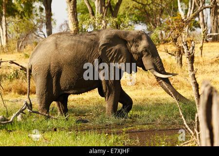 African elephants, the world's largest land mammal walking through marshland feet in water feeding - Stock Photo