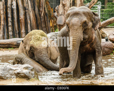 Two adult elephants and one infant playing in a pool of water at the zoo. - Stock Photo
