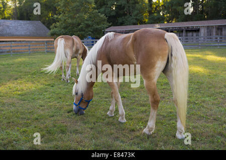 Old Bethpage, New York, USA. 28th Sep, 2014. Two Palomino horses graze on grass by the livestock barn at the 172nd - Stock Photo