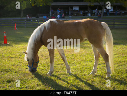 Old Bethpage, New York, USA. 28th Sep, 2014. A Palomino horse grazes on grass as dusk approaches at the 172nd Long - Stock Photo