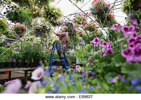 Worker checking hanging basket in plant nursery greenhouse - Stock Photo
