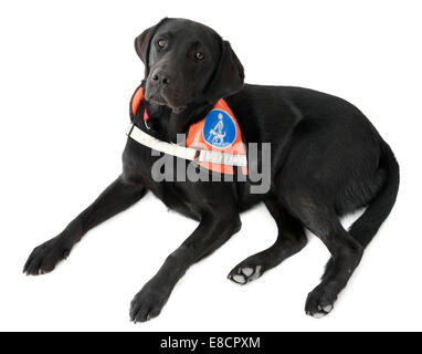 Guide dog for the blind cut out isolated on white background - Stock Photo