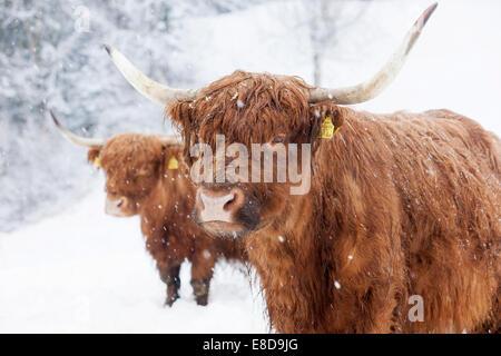 Scottish Highland cattle in snow, Brandenberg, Tyrol, Austria - Stock Photo