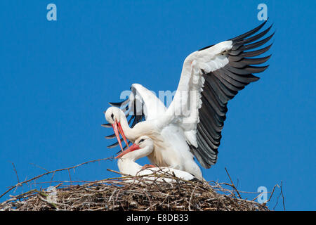 Two white storks (Ciconia ciconia), mating in the nest, Hesse, Germany - Stock Photo
