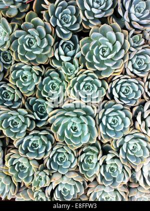 Close up of succulent plants - Stock Photo
