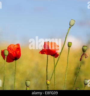 Poppies in a field, England, UK - Stock Photo