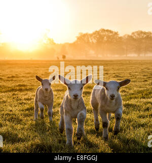 Trio of lambs on meadow at morning sun - Stock Photo