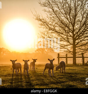 Flock of lambs on meadow at morning sun - Stock Photo