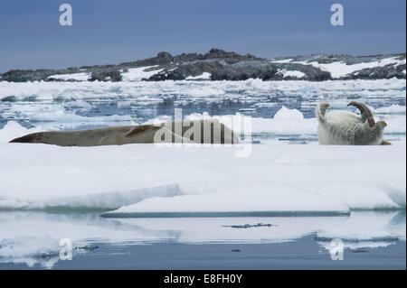 Seals relaxing on ice - Stock Photo