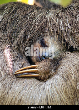Close up view of Brown-Throated Three Toed sloth sleeping, Costa Rica - Stock Photo