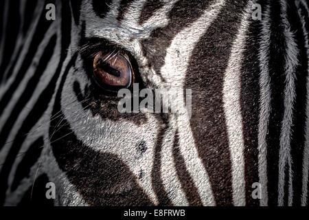 Close-up of a zebra's eye - Stock Photo