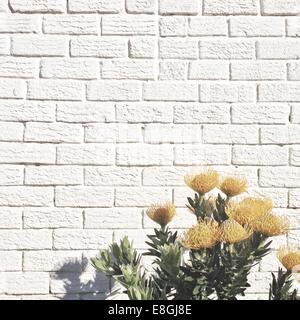 Yellow flowers against white brick wall - Stock Photo