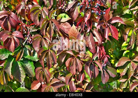 Parthenocissus (Boston Ivy) - Stockfoto