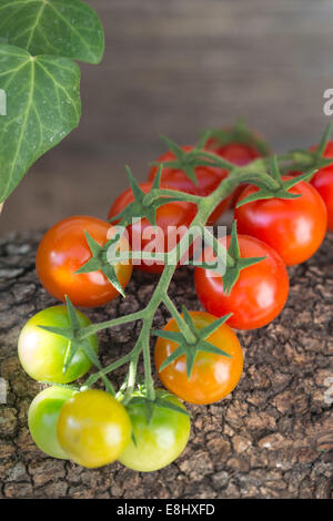 red and green cherry tomatoes on vine against wood with ivy trailing in background - Stock Photo
