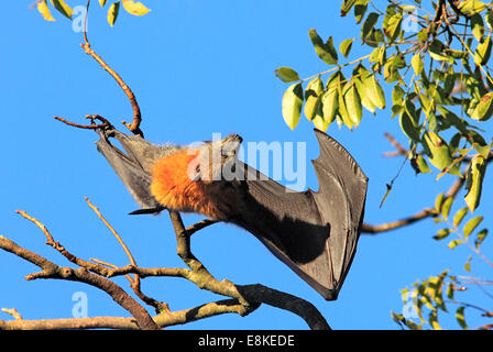 Grey Headed Flying Fox, Pteropus poliocephalus, with wing open. - Stockfoto
