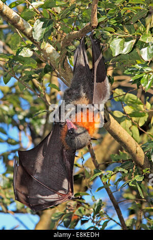 Grey Headed Flying Fox, Pteropus poliocephalus, with wing and mouth open. - Stock Photo