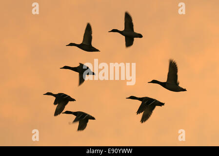 small flock of ducks in silhouette on an Orange sky - Stock Photo
