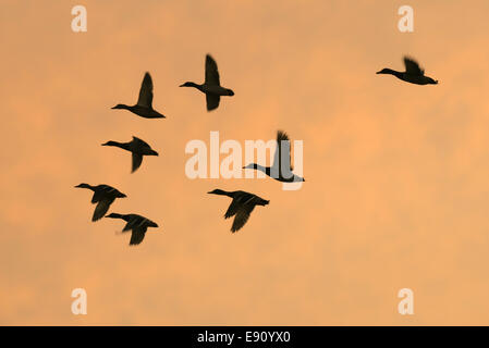 Flock of ducks in silhouette on an Orange sky - Stock Photo