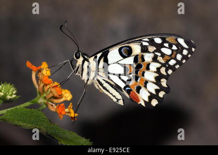 Chequered Swallowtail (Papilio demoleus) a.k.a. Lemon or Lime Swallowtail or Small Citrus Butterfly, feeding on - Stock Photo