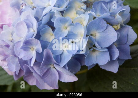 Blooming hydrangea in pink and blue colors - Stock Photo