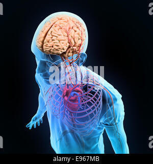 Human anatomy illustration - central nervous and circulatory systems - Stock Photo