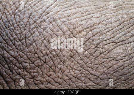 Close-up of the hide of an African Elephant (Loxodonta africana), Botswana - Stock Photo