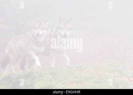 A captive pair of grey wolf walk side by side on a moss-covered rock in a misty forest, Bavarian Forest National - Stock Photo