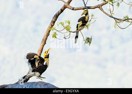 Eine Anzeige großes Hornbill (Buceros Bicornis) beobachtet von einem anderen im tropischen Regenwald - Stockfoto