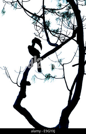 Silhouette of Great hornbill (Buceros bicornis) in tropical rainforest canopy - Stock Photo