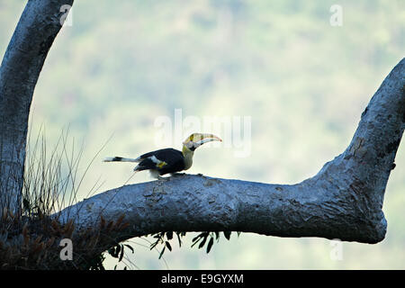 Adult female Great hornbill (Buceros bicornis) in tropical rainforest canopy - Stock Photo