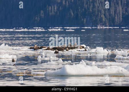 Ice,Alaska,Chugach,Sea Otter - Stockfoto