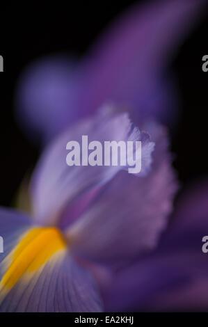 close up of an iris petal - Stockfoto