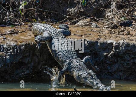 Adult saltwater crocodile (Crocodylus porosus), on the banks of the Daintree River, Daintree rain forest, Queensland, - Stock Photo