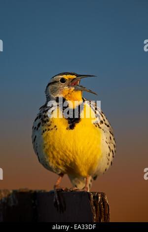 Western Meadowlark (Sturnella neglecta) singing, Antelope Island State Park, Utah, United States of America, North - Stock Photo