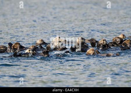 Northern Sea Otters (Enhydra lutris kenyoni) in Saginaw Bay off Kuiu Island in Tongass National Forest; Alaska, - Stockfoto