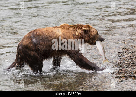 Grizzly bear with a salmon at Brooks Falls in Katmai National Park & Preserve, Southwest Alaska, Summer - Stock Photo