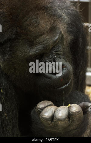 Western lowland gorilla (Gorilla gorilla gorilla) is feeding. Close up portrait. - Stock Photo