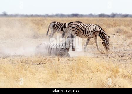 Zebra rolling on dusty white sand. Etosha national Park, Ombika, Kunene, Namibia. True wildlife photography - Stockfoto