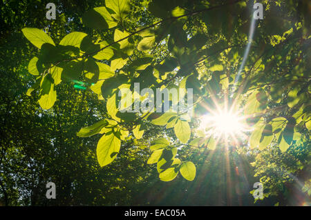 Ray of sunlight shinning through the green leaves of trees in the forest. - Stock Photo