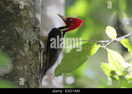 Pale-billed Woodpecker, Campephilus guatemalensis, against tree trunk - Stock Photo
