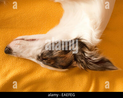 sleeping dog on bed - Stock Photo