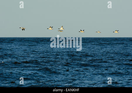 Flock of Goosanders Mergus merganser flying over sea - Stock Photo
