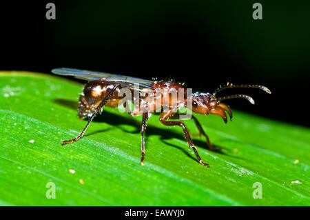 A winged ant known as an alate perched on an Amazon rainforest leaf during a nuptial flight. - Stock Photo