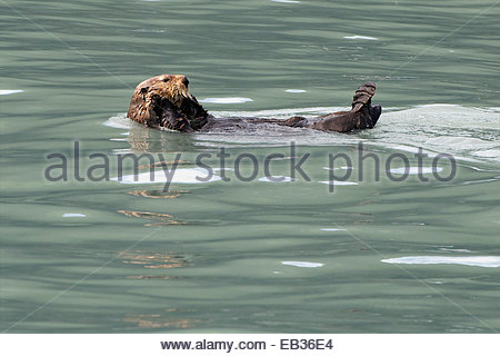 A sea otter floats on its back. - Stockfoto