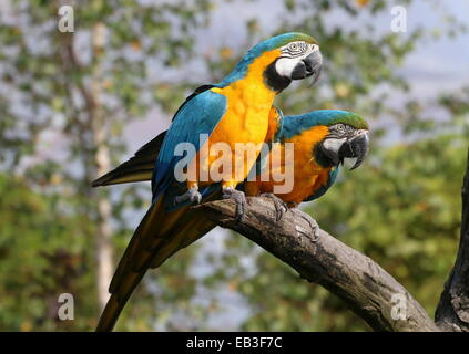 Two spirited Blue-and-yellow macaws (Ara ararauna) in close-up, posing on a branch - Stock Photo