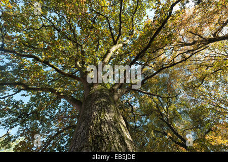 Magnificent tall strong old ancient moss and algae covered common oak looking upwards at canopy against blue sky - Stock Photo